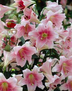 Fragrant Lilies for Your Summer Garden: Summer is filled with so many good smells. Grow lilies in your garden to ensure you have the most beautiful fragrance of all!