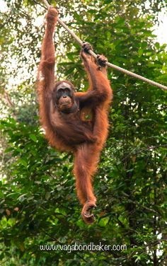 Semenggoh Orang-utans in Sarawak, Borneo. An incredible experience. Save The Orangutans, Monkey 2, Primates, Borneo, Asia Travel, Places To Travel, Cute Pictures, Wildlife, The Incredibles