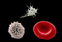 Comparación del tamaño de un glóbulo rojo, uno blanco y una plaqueta al microscopio SEM con 2500 aumentos