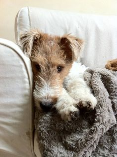 Young wire fox terrier getting cosy.