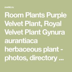 Room Plants Purple Velvet Plant, Royal Velvet Plant Gynura aurantiaca  herbaceous plant  - photos, directory and search engine for decorative garden flowers and plants, efficient search over the set of parameters.