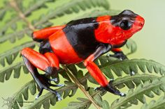 Lehmann's poison frog or the Red-banded poison frog, Dendrobates lehmanni (Amphibia - Anura - Dendrobatidae)
