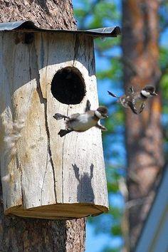 Wood duck babies!