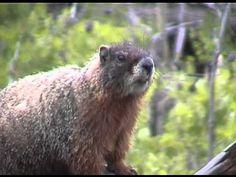 ▶ Yellowstone National Park: Hibernation - YouTube