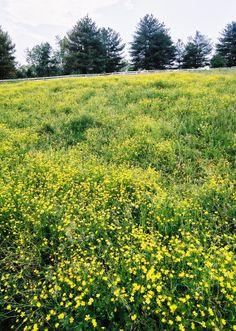 Fields and Wildflowers. #smokies