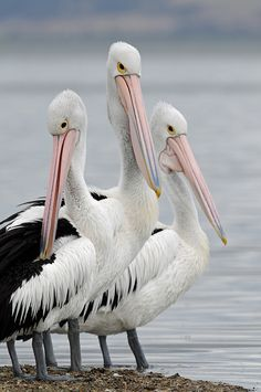 Pelican Trio - Australia... Recently, these birds are residing on our lake in our regional area.