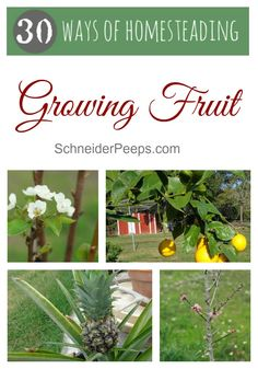 SchneiderPeeps - There are many reasons to grow fruit even on small property. With just a little bit of planning you can enjoy fresh fruit for many years.