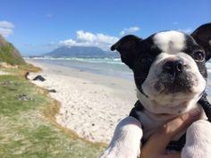 Cute Boston Terrier Puppy at the Beach! See More Photos ► http://www.bterrier.com/?p=28125 - https://www.facebook.com/bterrierdogs