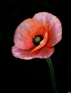 Poppy....