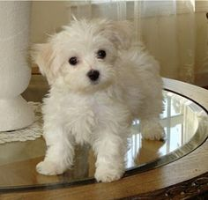 Maltese dogs are so cute!! Want one!!!