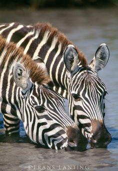 Zebras drinking (Equus quagga) at Masai Mara Reserve, Kenya - photo by Frans Lanting