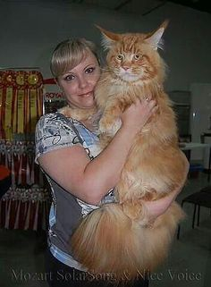 1000 Images About Largest Domestic Cats On Pinterest