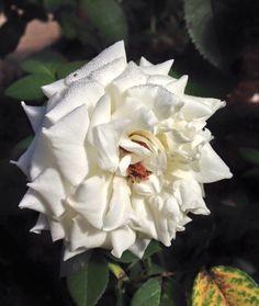 Rosas en el campus universitario. San Lorenzo