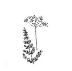 Karhunjuuri | Osastot | Hyötykasviyhdistys Leaf Tattoos, Herbs, Herb, Medicinal Plants