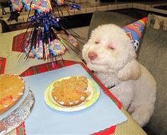 Bichon at Birthday Party toobasyed.blogspot.com