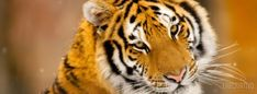 facebook timeline cover Siberian Tiger Wild Animal Animals/Wild,Tiger,Animal,Siberian,Wild