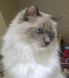 ragdoll cat - AMAZING BREED. AFFECTIONATE, GOOD NATURED