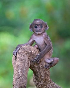 Baby Hanuman Langur, Bandhavgarh National Park, India