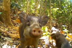 Bawean warty pig may be world's rarest pig, with only 230 around