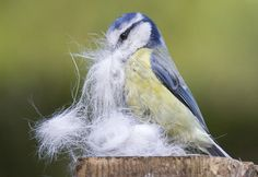 fairy-wren:    blue tit gathering nesting material  (photo by aerial2)