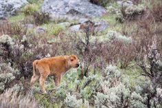A bison calf at Yellowstone had to be euthanized after tourists loaded him into their vehicle and, as a result, was rejected by his herd when authorities attempted to reunite them. Shockingly, the tourists were only issued a small fine. Demand that they be properly penalized for this innocent animal's death.