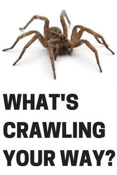 9 best black widows images black widow black widow spider spiders rh pinterest com