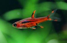 Aquarium Store, Aquarium Setup, Planted Aquarium, Aquarium Fish, Small Catfish, Cory Catfish, Neon Tetra, Fish List, Neon