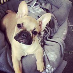 French Bulldog Puppy, via the dailyfrenchie.