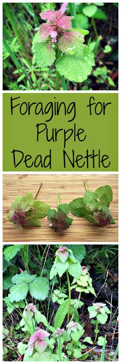You've probably seen purple dead nettle around. Did you know it was edible and medicinal?