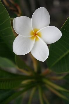 White Plumeria by cazfoto, via Flickr