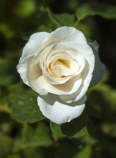 'Anastasia '   Hybrid Tea Rose. N.P. Greff, 1980   Flickr - © Cap001 – Dan