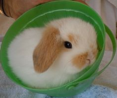 mini holland lop bunnies for sale - Google Search Mini Lop Bunnies, Dwarf Bunnies, Tiny Bunny, Cute Baby Bunnies, Funny Bunnies, Holland Lop Bunnies For Sale, Animals And Pets, Cute Animals, Cute Bunny Pictures