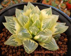 Succulent Haworthia Obtusa Reverse Variegate