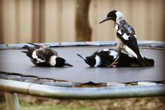 Young magpies fooling around on a mini trampoline Albany Western Australia Fast Crazy Nature Deals. Funny Animal Pictures, Funny Animals, Australia Animals, Australian Birds, Watercolor Artwork, Animals Of The World, Magpie, Beautiful Birds, Pet Birds