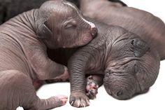 No todos los cachorros de Xoloitzcuintle nacen completamente pelones. Foto: Shutterstock