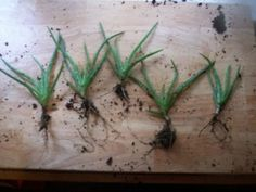 Aloe Vera Plants: Growing, Caring for, Dividing and Using
