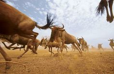 White-bearded wildebeest herd: Every year, more than a million wildebeest and two hundred thousand zebras must chase the seasonal rains, in a 300-mile loop around Tanzania and Kenya.