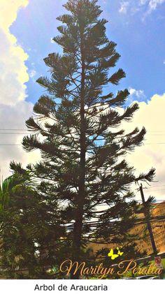 Árbol de Araucaria.  Su  Nombre científico es  Araucaria heterophylla y se distingue por su gran altura y su forma piramidal.