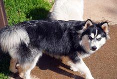 Pomsky Puppy Breeder Pomsky Puppies, Northern California, Acacia, Husky, Dogs, Animals, Animais, Animales, Animaux