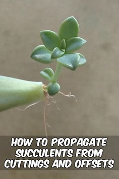 on How to propagate succulents from leaves! See how to grow more succulents from the ones you already own!Tips on How to propagate succulents from leaves! See how to grow more succulents from the ones you already own! Propagate Succulents From Leaves, Hanging Succulents, Growing Succulents, Succulent Gardening, Succulents In Containers, Succulent Care, Succulent Terrarium, Cacti And Succulents, Growing Plants