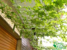 lovely cucumber vine creates a nice micro climate area in what would otherwise been barren