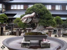 An 800 year-old Bonsai tree at Shunkaen, by Kunio Kobayashi