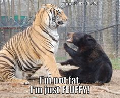 I'm not fat, I'm FLUFFY!  Doc the tiger & Little Anne the bear are a comical little duo! www.noahs-ark.org #LOL #Meme #Animal #Funny #humor #tiger #bear #notfat #fluffy #noahsark