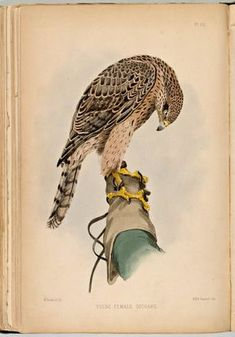 Young hawk on the gloved hand of a falconer (1873, watercolor), F.H. Salvin, Falconry in the British Isles.