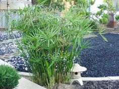 Umbrella plant.  Does VERY well in D/FW.  Spreads and is perennial. Can get to 6'high.