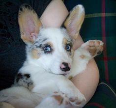 Gorgeous Chloe, Blue Merle Cardigan Corgi (she looks like she has really long eyelashes! Puppies And Kitties, Baby Puppies, Cute Puppies, Corgi Dog, Pet Dogs, Baby Corgi, Blue Merle Corgi, Baby Animals, Cute Animals