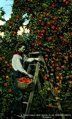 Florida Memory  - A profitable crop scene in an orange grove - Florida