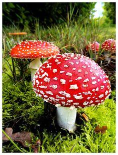Amanita Muscaria Mushrooms (Fly agaric) ~ By AntiHero77