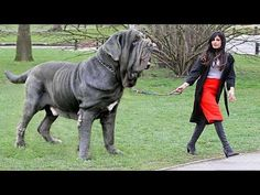 10 Expensive Dogs Only Rich People Can Afford Giant Dog Breeds, Giant Dogs, Large Dog Breeds, Giant Animals, Really Big Dogs, Huge Dogs, Mastiff Breeds, Mastiff Dogs, English Mastiff Puppies