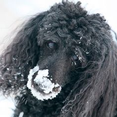 Poodle with a snow-covered nose.